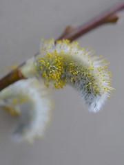 Spring is on its way..... (louise peters) Tags: willow wilg wilgenkatje willowcatkin salix katje stuifmeel pollen macro