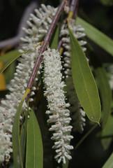 Xylomelum angustifolium, Kings Park, Perth, WA, 10/01/17 (Russell Cumming) Tags: plant xylomelum xylomelumangustifolium proteaceae kingspark perth westernaustralia