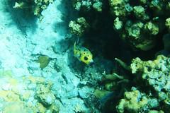 Pesce palla a macchie nere - Blackspotted Puffe (Landersz) Tags: philippines filippine coron palawan club paradise snorkeling turtle shark clownfish nemo dugong landersz canon 5dmk3 nimar gopro hero5