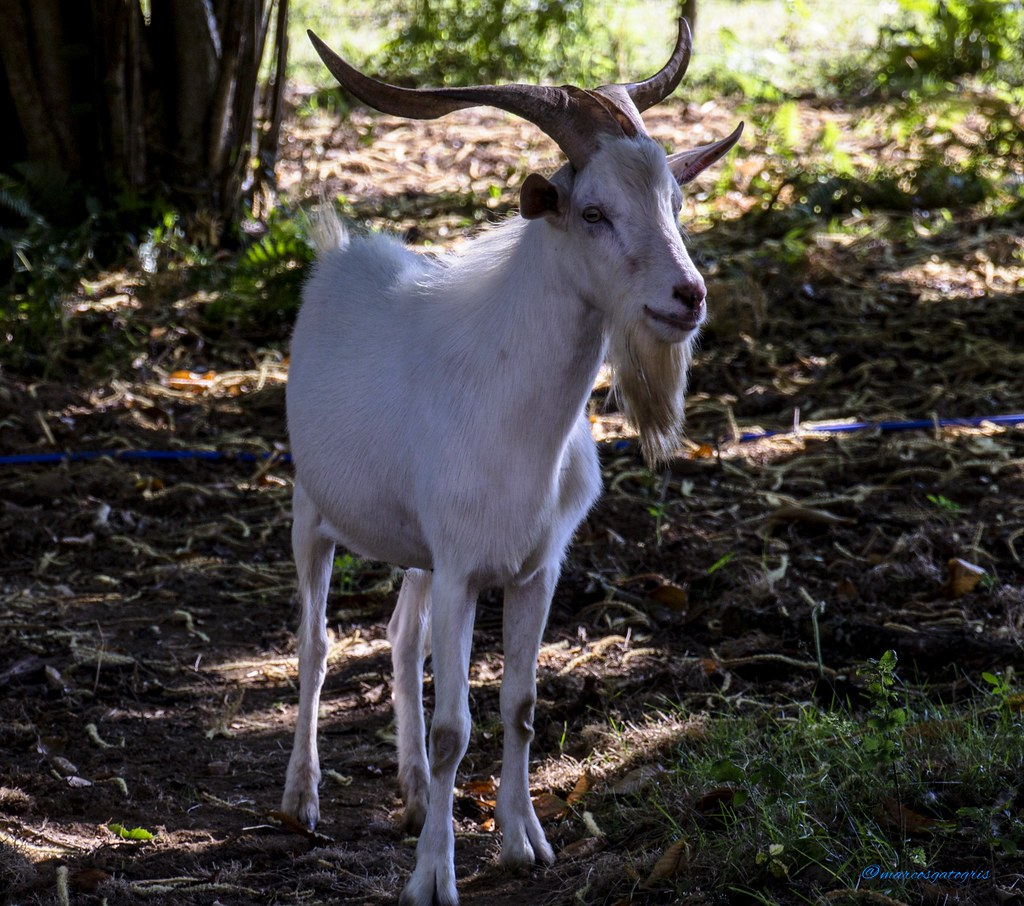 The World\'s most recently posted photos of cabrito and goat - Flickr ...