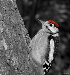 RED CAP (car 67) Tags: woodpecker greaterspottedwoodpecker garden tree oak