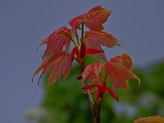 1389-32L (Lozarithm) Tags: oldforge leaves acers maples pentax zoom 55300 hdpda55300mmf458edwr k50