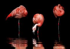 026/117 Selective Colour (Jamarem) Tags: nature pond water reflection 70300mm composite pink bird captive zoo twycross flamingos 117picturesin2017 selective colour