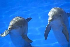 ¿juegas? (Ángel Santana Rico) Tags: delfines dolphins agua water sea acuario acuarium palmitos park gran canaria mular