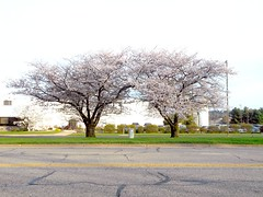 Blossoms in April (FotoGuy 49057) Tags: blooms trees spring warmth