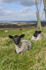 Lambs (ola_er) Tags: nature lamb scotland beautiful nikon uk sheep