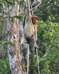 Swinging on a vine (tmeallen) Tags: proboscismonkey nasalislarvatus young female forest jungle threatenedspecies sekonyerriver tanjungputingnationalpark indonesia kalimantanprovince borneoisland