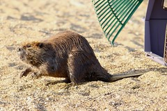 Catch Me If You Can! (Piedmont Fossil) Tags: sandypoint state park maryland beaver mammal wildlife
