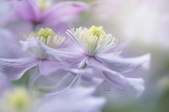 Clematis 'Mayleen' (Jacky Parker Flower Photography) Tags: clematis clamatismayleen flowers climbingplant springflowers springgarden springcolour closeup lilac colorimage selectivefocus focusonforeground imagefocustechnique floatypetals floralart beautyinnature freshness fragility flow softbackground softlight softfocus softness pink outdoors nopeople flowerphotography nikond750 uk