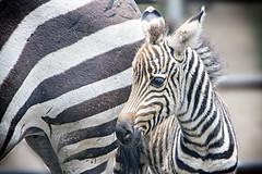 Nachwuchs in Germendorf II (Reinhard_M) Tags: zebra zebrafohglen fohlen germendorf freizeitpark freizeitparkgermendorf 602img4896bk