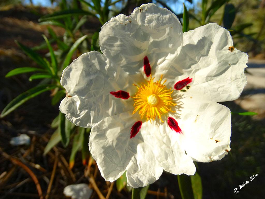 Águas Frias (Chaves) - ...flor de esteva ...