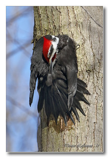 103A6726-DL-2   Grand pic (mâle) / Pileated Woodpecker (male).