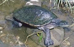 Bellinger River Snapping Turtle (Wollumbinia georgesi) (Gary Stephenson) Tags: threatenedspecies bellingen bellingerriver bellingerriversnappingturtle wollumbiniageorgesi myuchelysgeorgesi