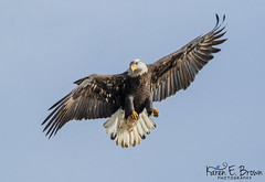 Just Hangin' Around (BirdFancier01) Tags: raptor nature flight eagle iowa leclaire river lockanddam14