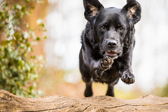 Rocket Dog. (Marcus Legg) Tags: marcuslegg max dog labrador retriever pet pets canon eos 1dx ef70200mmf28lisii action outdoors woods woodland jumping shiny bokeh