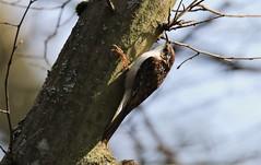Tree Creeper   (Certhia familiaris) (GrahamParryWildlife) Tags: long tailed flight grahamparrywildlife canon 7d mk2 sigma 150600 sport kentwildlife animal outdoor depth field bird