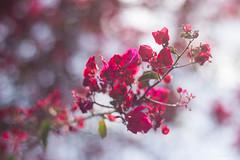 Atardecer de Bugambilia (gemafv85) Tags: flores flor bugambilias bugambilia