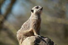 The Simples life (Allan Jones Photographer) Tags: meerkat animal bokeh exmoorzoo allanjonesphotographer canon5d3 canonef100400mmf4556lisusm bokehlicious