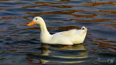 #Canon #700D Wadi Namar, Riyadh (Jaseem Hamza Photography) Tags: canon ngc duck 700d dslr white cute water swimming shot riyadh saudi arabia wadi namar