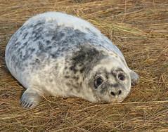 Grey Seal (Peanut1371) Tags: greyseal seal mammal pup donnanook nationalgeographicwildlife
