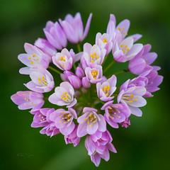 Spring flowers (Toni P. Juan) Tags: springtime april pink delicate allium botánic nature spring primavera flowers canon sigma macro macrophotography minimalist
