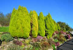 Dazzling shrubbery border at Norden Station (davids pix) Tags: norden station swanage railway shrubbery flower border dazzling colour bright sunshine 2017 02042017