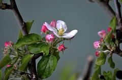 _DSC2460 - Fleurs de pommier (Le To) Tags: nikond5000 extérieur fleurs fiori flowers nature plante pommier