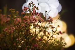 4P7A0794.jpg (oras_et_marie) Tags: nuit bokeh ef85mmf18 fleur