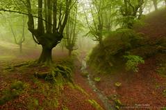 Guardianes de Itxina (Pruden Barquin) Tags: paisaje landscape bosques niebla fog forest hayas hayedos ambiente naturaleza nature prudenbarquin fotografia
