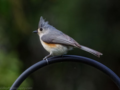 Tufted titmouse (Bob Gilley) Tags: tufted titmouse