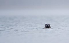 Grey Seal watching in the fog (george.julin) Tags: halichoerusgrypus kayak ice