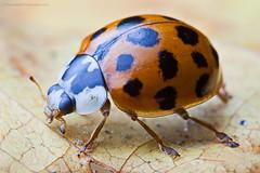Harlequin (Steve W M) Tags: guernsey channelislands harlequin ladybird ladybug leaf summer autumn closeup macro mpe65