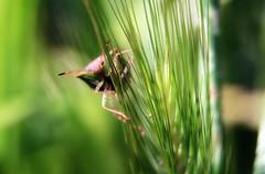 Peering out of the grass (TJ Gehling) Tags: insect hemiptera heteroptera bug truebug pentatomidae stinkbug shieldbug grass garden canyontrailpark elcerrito