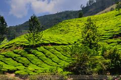 Munnar Tea estate (Prasad.T.R :-)) Tags: munnar tea estate kerala nature green prasad prasadphotography prasadramachandranphotograpy prasadclick