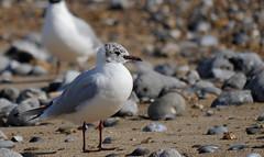 (yvonnepay615) Tags: panasonic lumix gh4 nature bird gull cromer norfolk eastanglia uk coth coth5