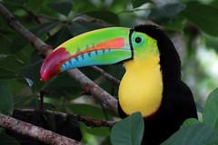 Ramphastos sulfuratus (Wilmer Quiceno) Tags: ramphastossulfuratus keelbilledtoucan tucan ramphastidae puertotriunfo torrelavega aves birds birding