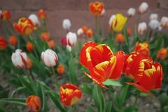 Tulpen (nordelch61) Tags: badhomburg schlosgarten blumen blüten baum bäume libanonzeder tulpen frühling hessen
