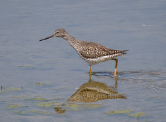Greater Yellowlegs (tresed47) Tags: 2017 201704apr 20170410capemaybirds birds canon7d capemay content folder greateryellowlegs newjersey peterscamera petersphotos places shorebirds takenby us yellowlegs