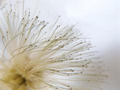 DSCF1191 (RubenDZarazuaM) Tags: macro dandelion flora flowers flower nature mexico drop paz