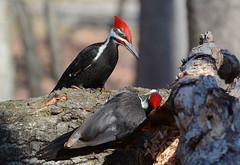 Pileated Woodpeckers (av8s) Tags: pileatedwoodpecker woodpecker treeclingingbirds birds wildlife nature photography nikon d7100 sigma 120400mm pennsylvania pa