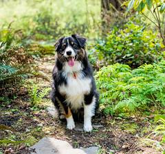 14/52 - Out For A Walk (jayvan) Tags: dash aussie australianshepherd dog posed walk plants path 52wfd 52weeksfordogs oregon sony