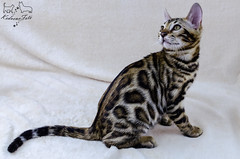 Neptun the future of bengal cats (tamásruzsovits) Tags: bengal cat kitten pet cute portrait