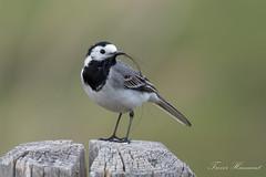 white wagtail (Trevsbirds) Tags: whitewagtail