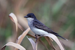 Eastern Kingbird (Alan Gutsell) Tags: bird birding migration anahaucnwr nature nationalpark wildlife alan eastern kingbird easternkingbird flycatcher tyrant