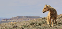 Gold Dust (chad.hanson) Tags: wyoming reddesert jackmorrowhills mustang wildlife wildhorses