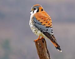 IMG_5727_edited-3 (lbj.birds) Tags: kansas nature flinthills wildlife bird kestrel falcon americankestrel