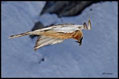Gypaète 170407-37-RP (paul.vetter) Tags: oiseau ornithologie ornithology faune animal bird gypaètebarbu gypaetusbarbatus bartgeier quebrantahuesos beardedvulture vautour rapace