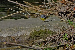 1391-33L (Lozarithm) Tags: calne wilts rivers rivermarden birds wagtails pentax zoom k50 55300 hdpda55300mmf458edwr