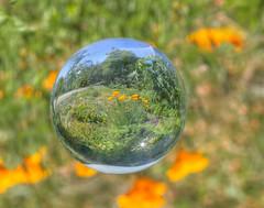 Calorifornia Poppies in a Crystal Ball (grandmasandy+chuck) Tags: crystalball poppies californiapoppies orange green hdr