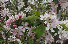 Appelbloesem 2017 4 (megegj)) Tags: gert flower bloem fleur fiore blossom bloesem